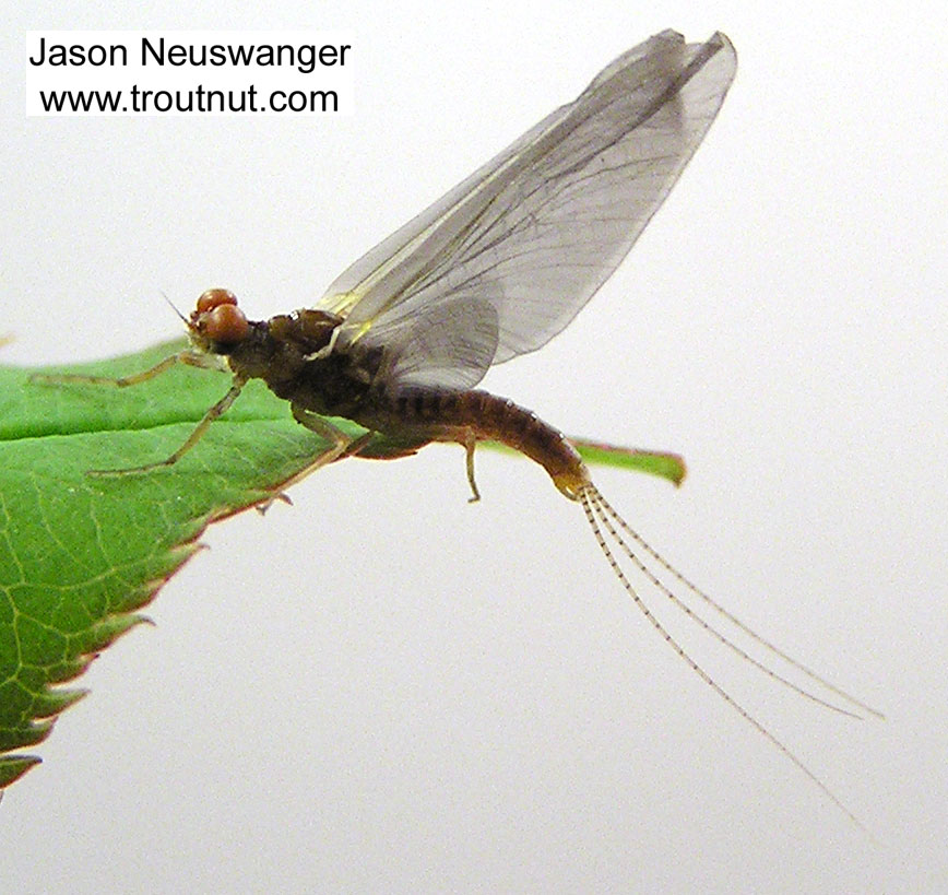 Male Ephemerella excrucians (Pale Morning Dun) Mayfly Dun from unknown in Wisconsin