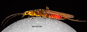 Female Sweltsa (Sallflies) Stonefly Adult