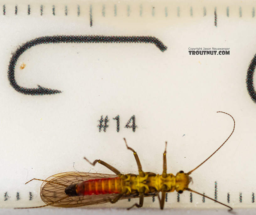 Female Sweltsa (Sallflies) Stonefly Adult from the Madison River in Montana