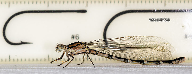 Odonata-Zygoptera (Damselflies) Damselfly Adult from the Madison River in Montana