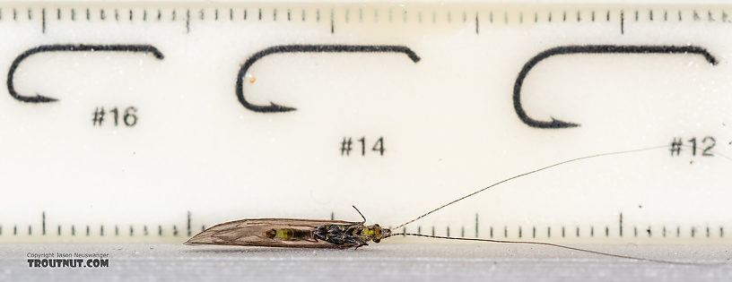 Male Leptoceridae Caddisfly Adult from the Madison River in Montana