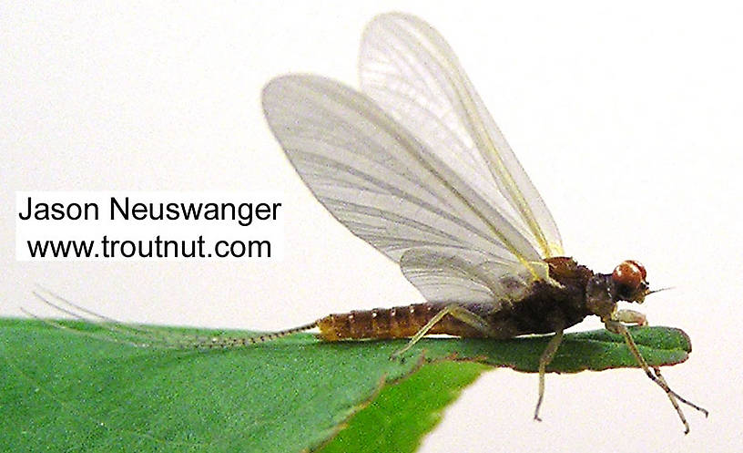 Male Ephemerella invaria (Sulphur Dun) Mayfly Dun from unknown in Wisconsin