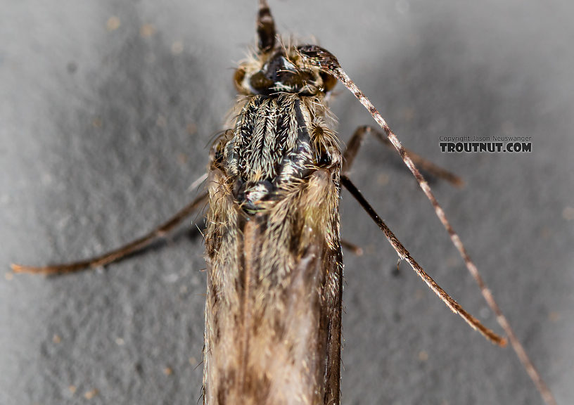 Leptoceridae Caddisfly Adult from the Madison River in Montana