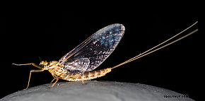 Female Rhithrogena undulata (Small Western Red Quill) Mayfly Spinner