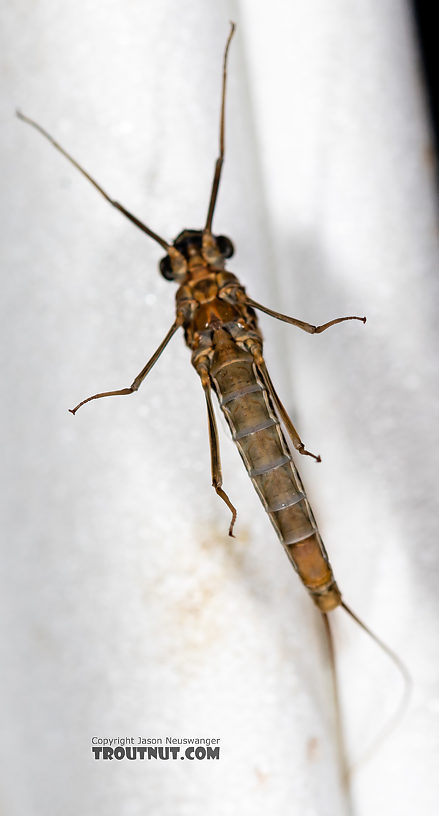 Female Rhithrogena Mayfly Spinner from the Madison River in Montana