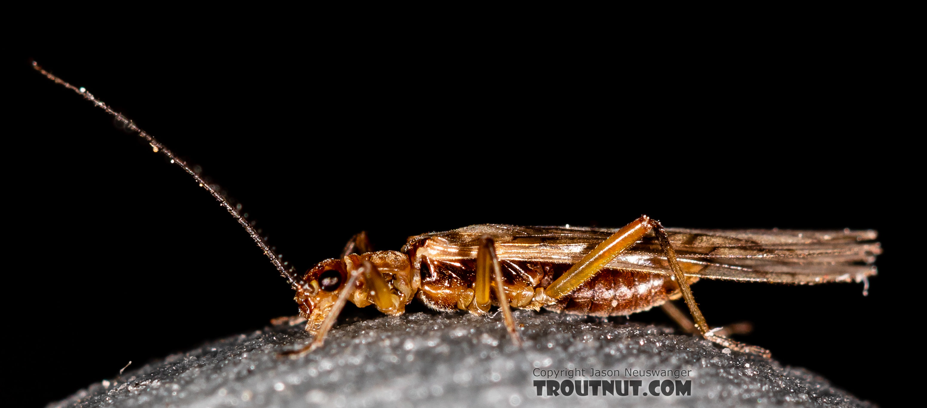 Male Malenka tina (Tiny Winter Black) Stonefly Adult from the Madison River in Montana