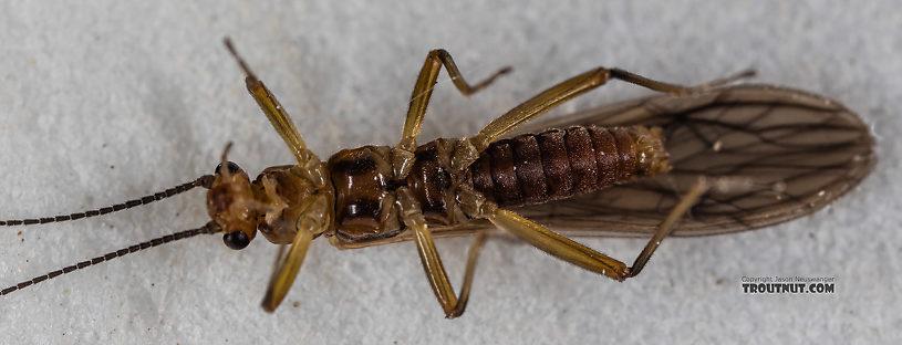 Male Malenka tina (Tiny Winter Black) Stonefly Adult from the Madison River in Montana