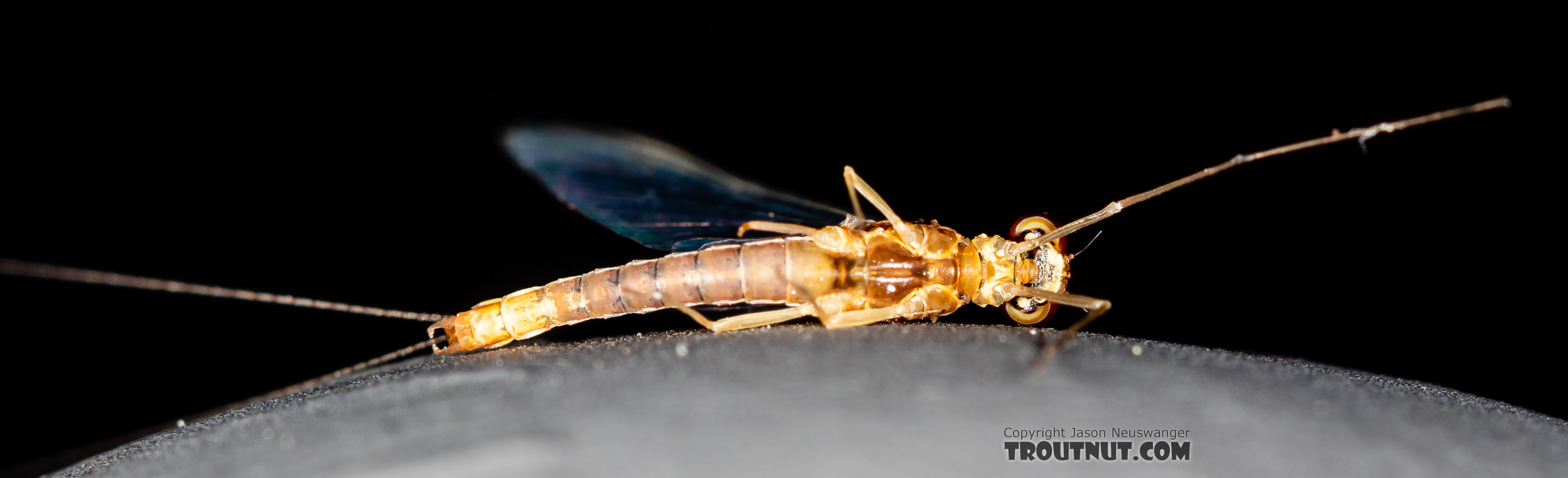 Male Ephemerella dorothea infrequens (Pale Morning Dun) Mayfly Spinner from the Madison River in Montana