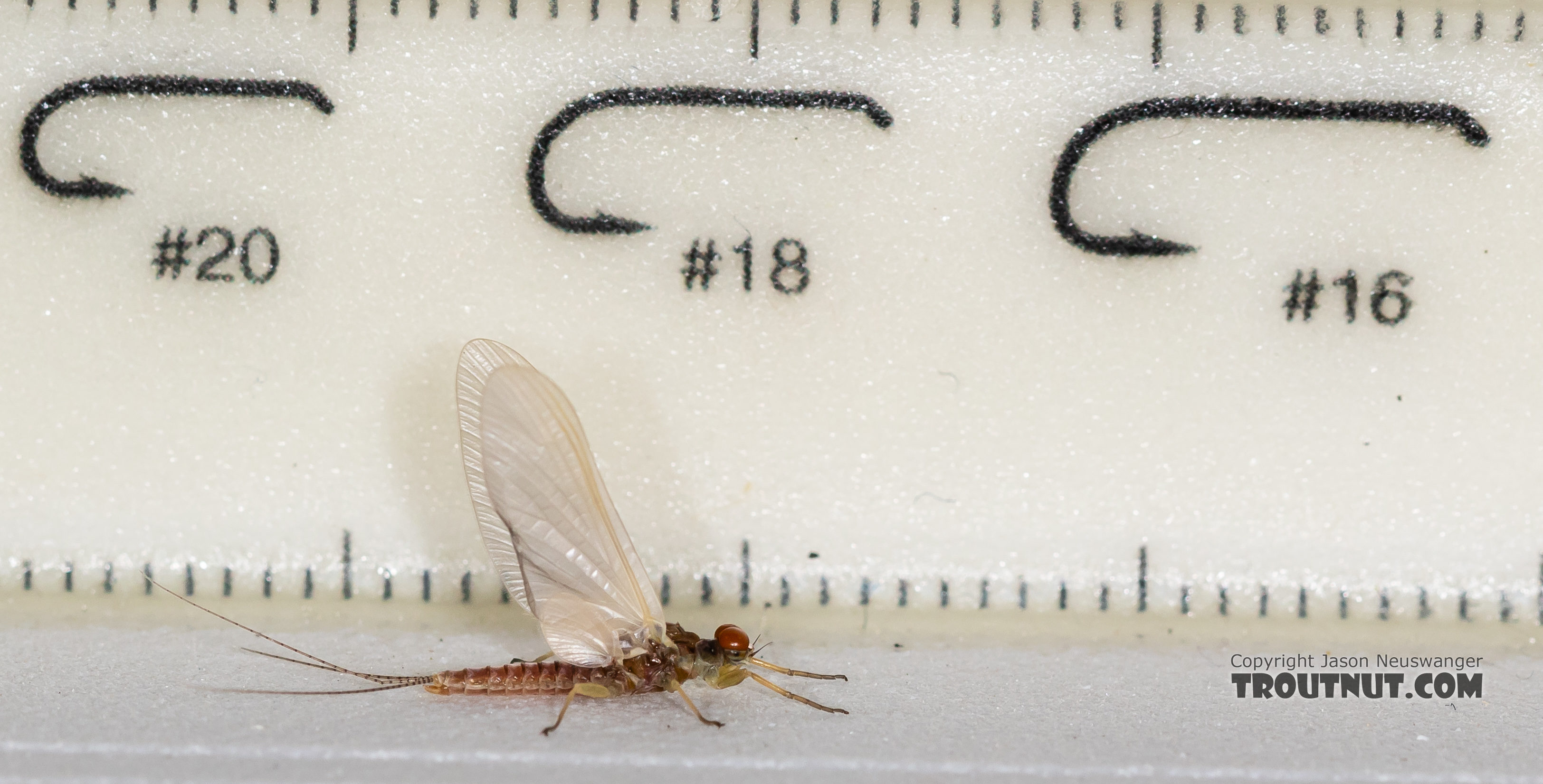 Male Ephemerella aurivillii Mayfly Dun from the Madison River in Montana