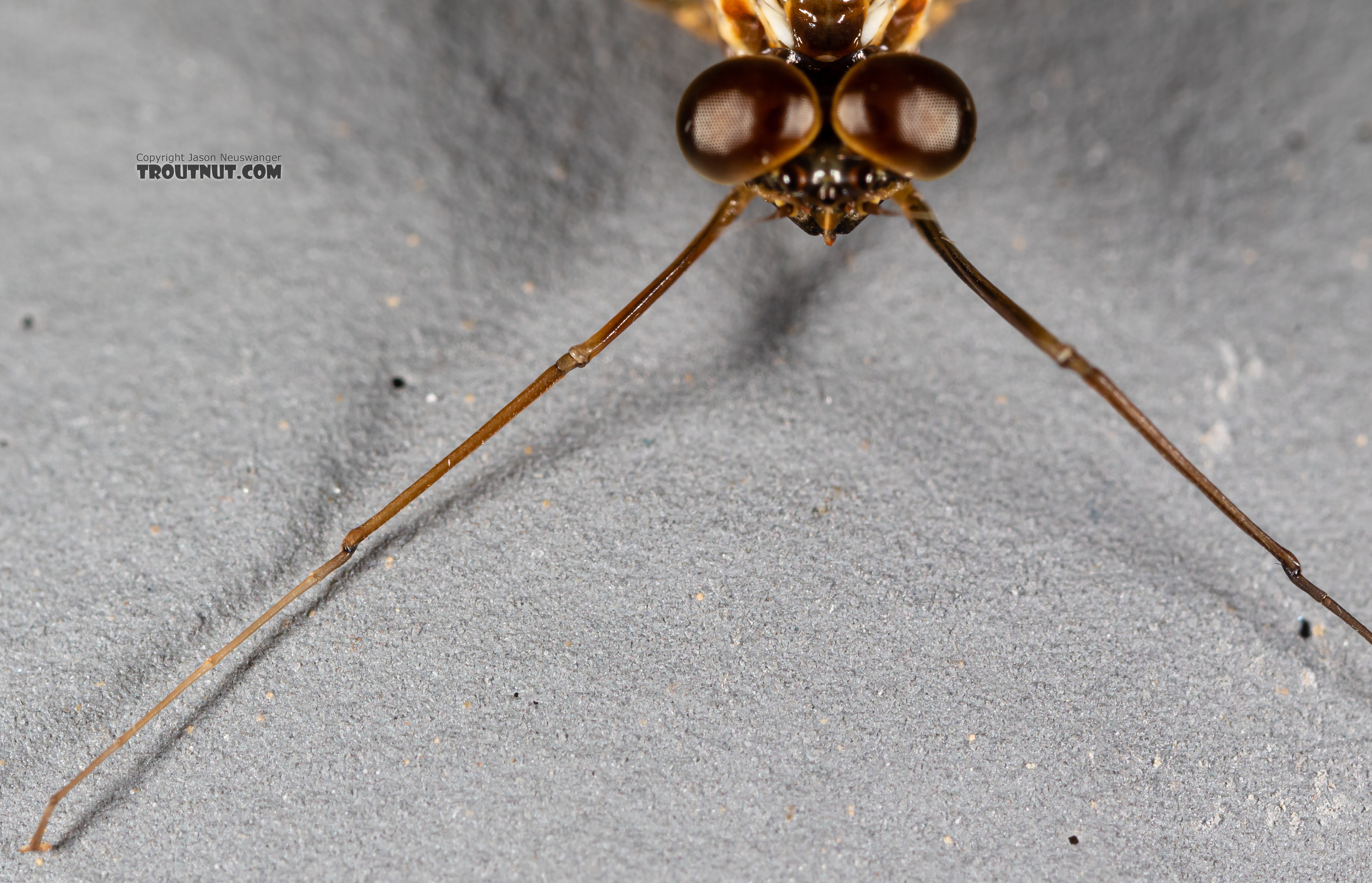 Male Rhithrogena Mayfly Spinner from the Madison River in Montana