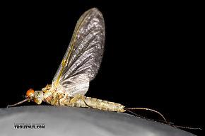Male Ephemerella dorothea infrequens (Pale Morning Dun) Mayfly Dun