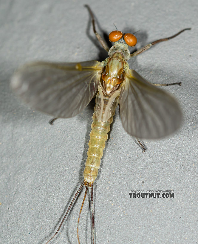 Male Ephemerella dorothea infrequens (Pale Morning Dun) Mayfly Dun from the Madison River in Montana