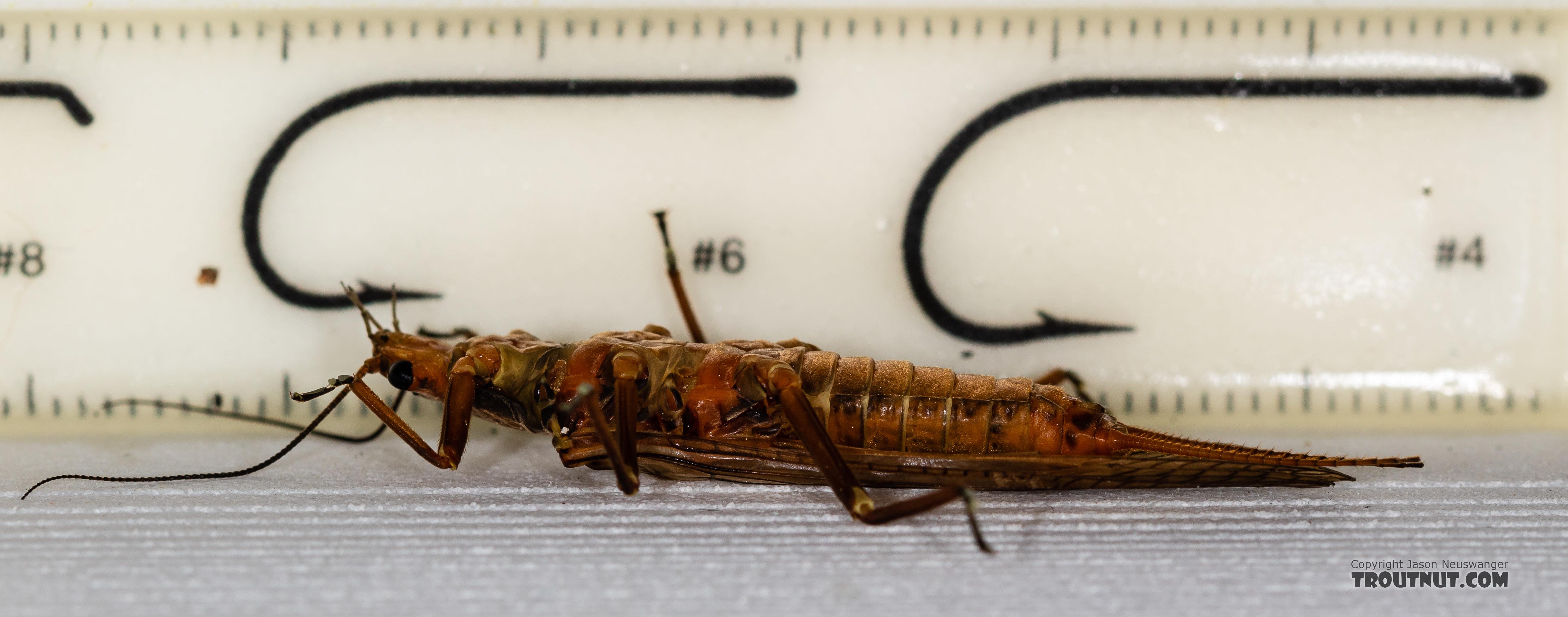 Female Hesperoperla pacifica (Golden Stone) Stonefly Adult from the Gallatin River in Montana