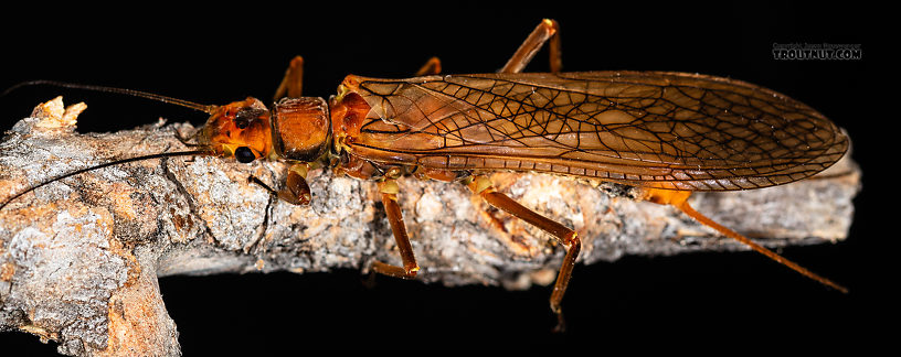 Female Hesperoperla pacifica (Golden Stone) Stonefly Adult from the Gallatin River in Montana