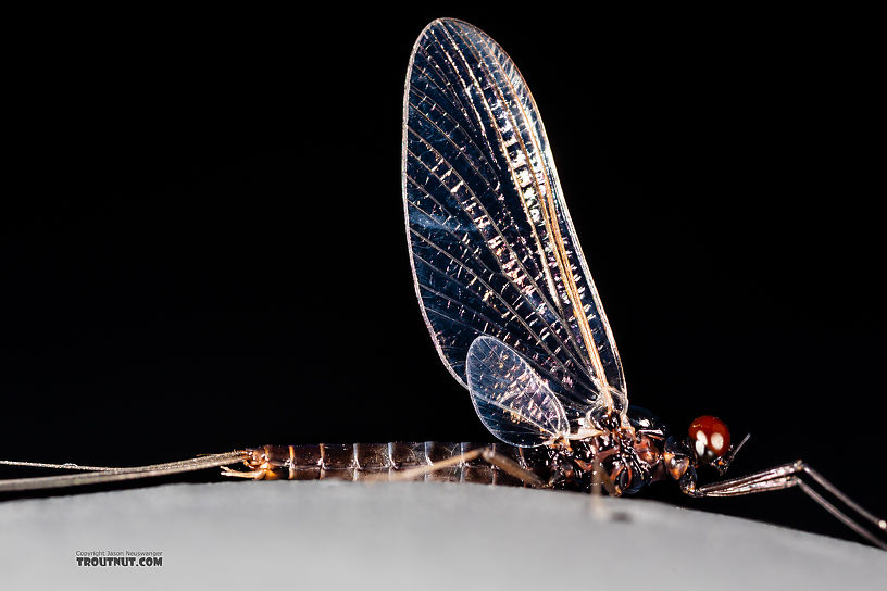Male Neoleptophlebia heteronea (Blue Quill) Mayfly Spinner from the Madison River in Montana