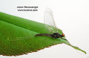 Male Ephemerella invaria (Sulphur Dun) Mayfly Spinner