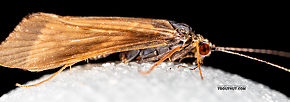 Male Cheumatopsyche (Little Sister Sedges) Caddisfly Adult