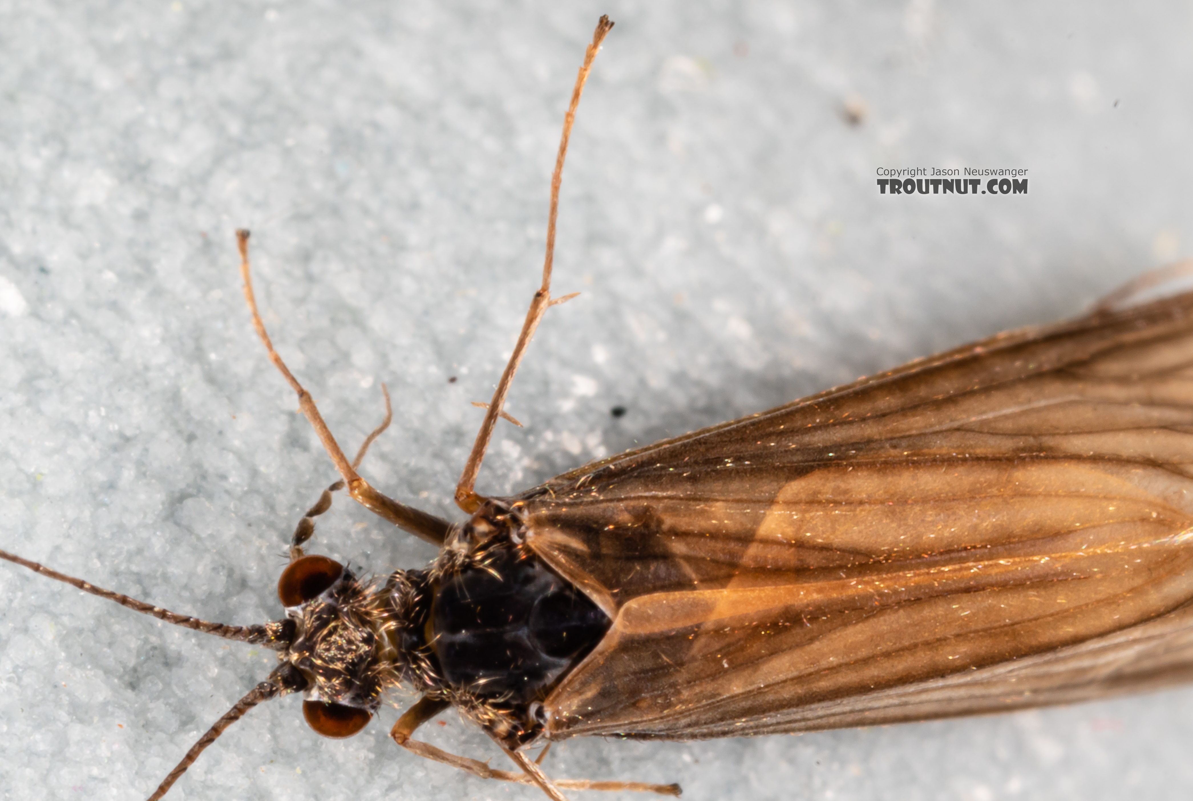 Male Trichoptera (Caddisflies) Caddisfly Adult from the Madison River in Montana