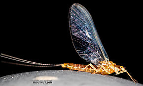 Female Ephemerella (Hendricksons, Sulphurs, PMDs) Mayfly Spinner