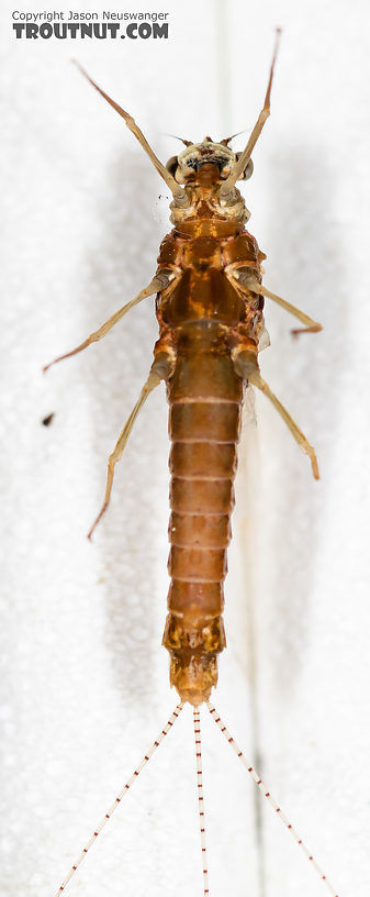 Female Ephemerella dorothea infrequens (Pale Morning Dun) Mayfly Spinner from the Madison River in Montana