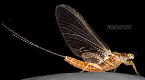Female Ephemerella aurivillii  Mayfly Dun