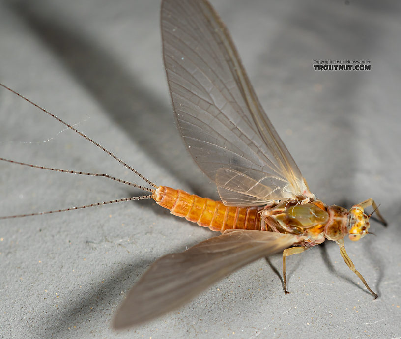 Female Ephemerella aurivillii Mayfly Dun from the Madison River in Montana