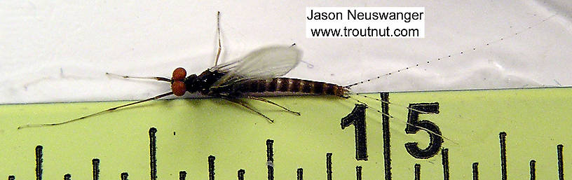 Male Ephemerella invaria (Sulphur Dun) Mayfly Spinner from unknown in Wisconsin