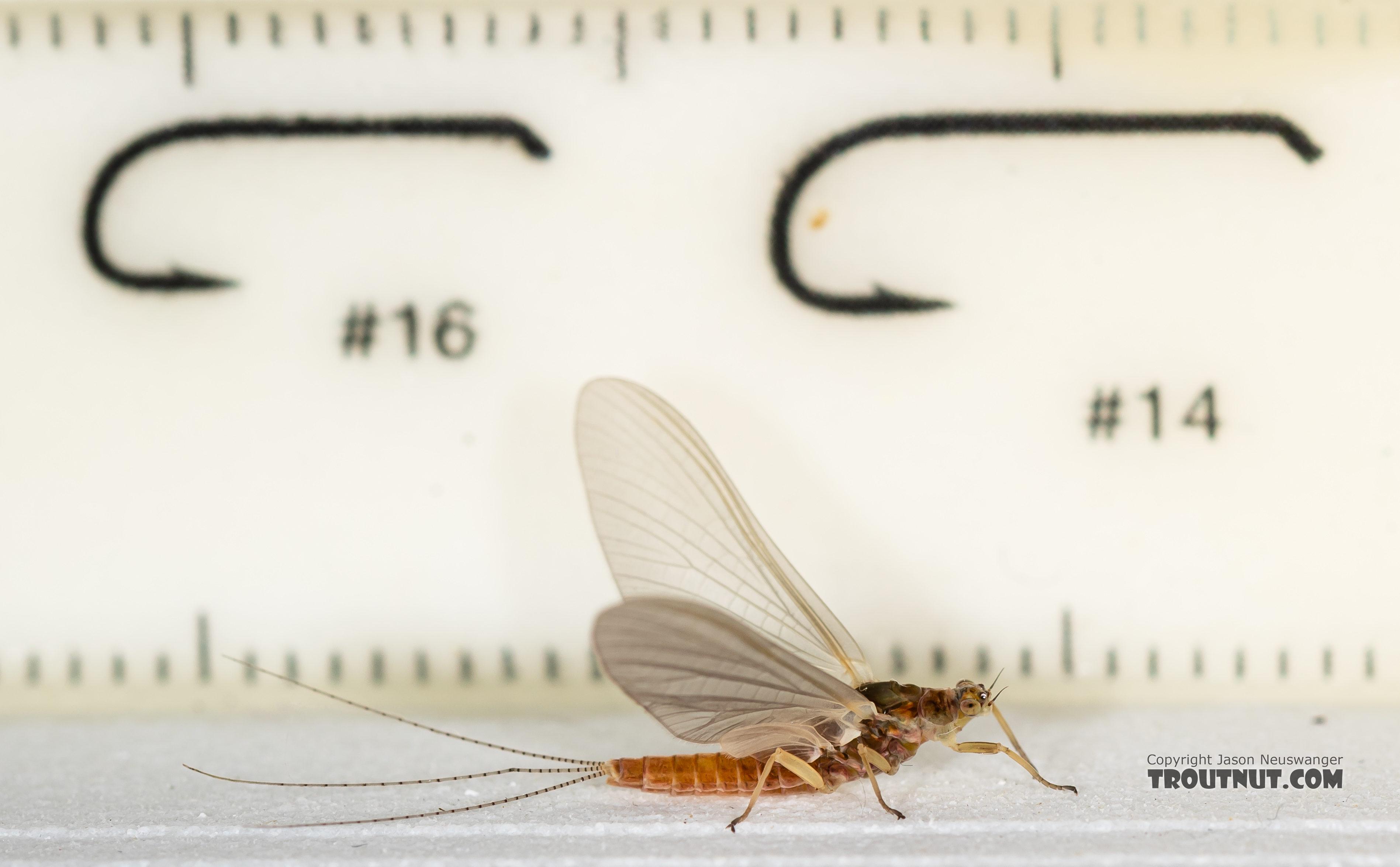 Female Ephemerella aurivillii Mayfly Dun from the Madison River in Montana