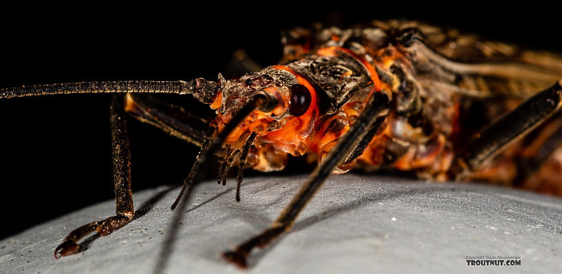 Male Pteronarcys californica (Giant Salmonfly) Stonefly Adult from the Gallatin River in Montana