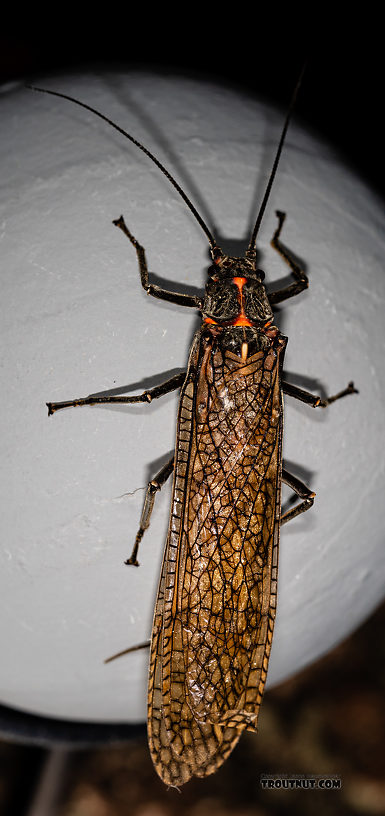 Female Pteronarcys californica (Giant Salmonfly) Stonefly Adult from the Gallatin River in Montana