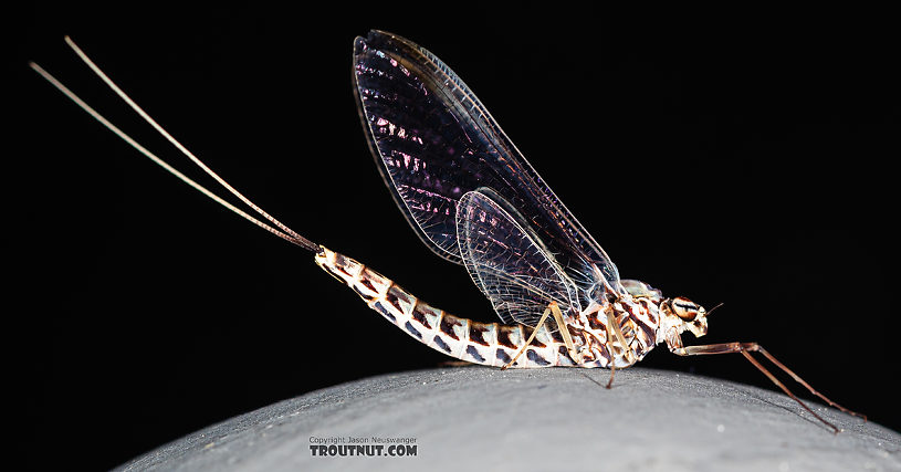 Female Siphlonurus alternatus (Gray Drake) Mayfly Spinner from the Gallatin River in Montana