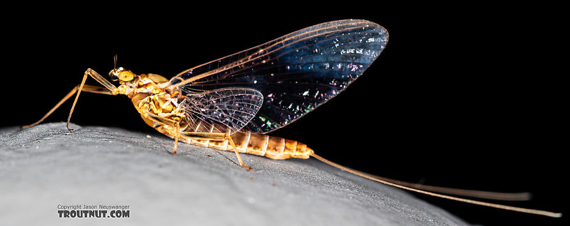 Female Rhithrogena Mayfly Spinner from the Gallatin River in Montana