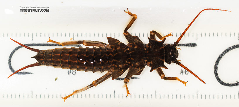 Pteronarcys californica (Giant Salmonfly) Stonefly Nymph from the Gallatin River in Montana