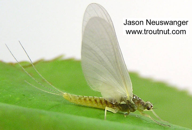 Female Ephemerella invaria (Sulphur Dun) Mayfly Dun from unknown in Wisconsin
