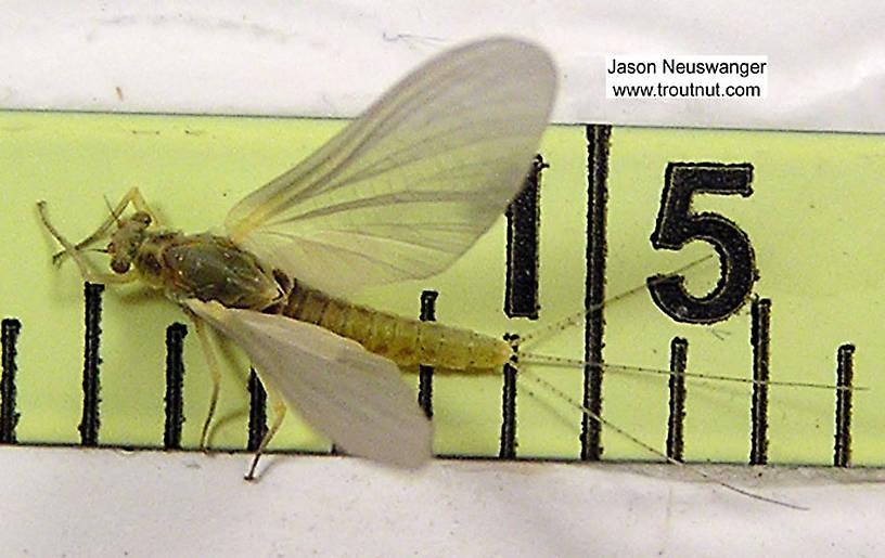Female Ephemerella invaria (Sulphur Dun) Mayfly Dun from unknown in Wisconsin