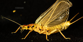 Hesperoperla pacifica (Golden Stone) Stonefly Adult