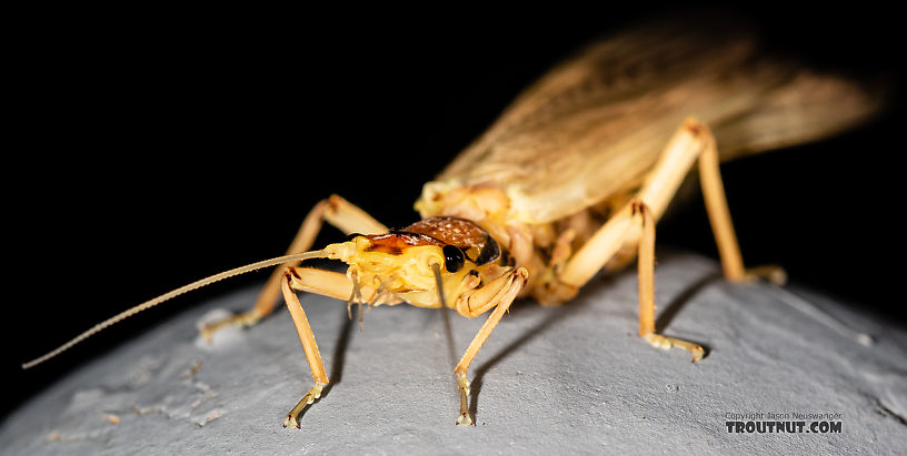 Hesperoperla pacifica (Golden Stone) Stonefly Adult from the Gallatin River in Montana
