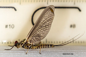 Male Drunella (Blue-Winged Olives) Mayfly Dun