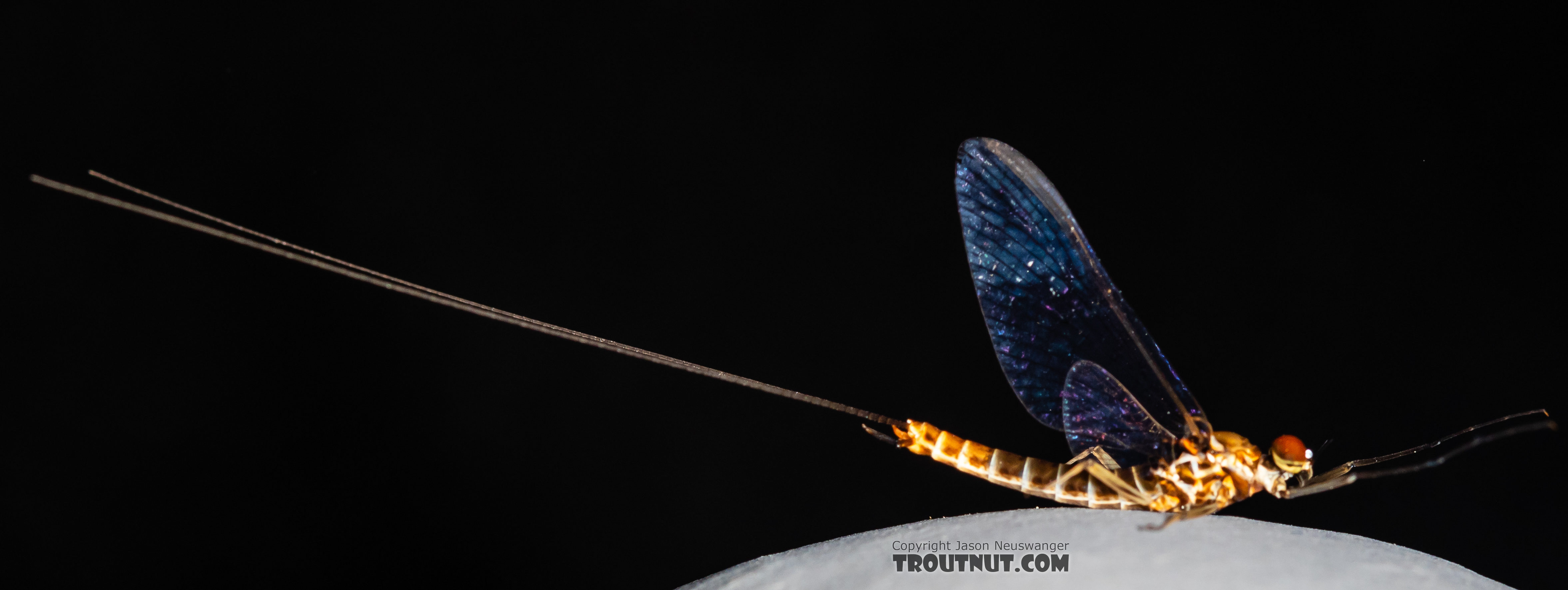 Male Rhithrogena hageni (Western Black Quill) Mayfly Spinner from the Ruby River in Montana