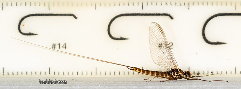 Male Rhithrogena Mayfly Spinner from the Ruby River in Montana