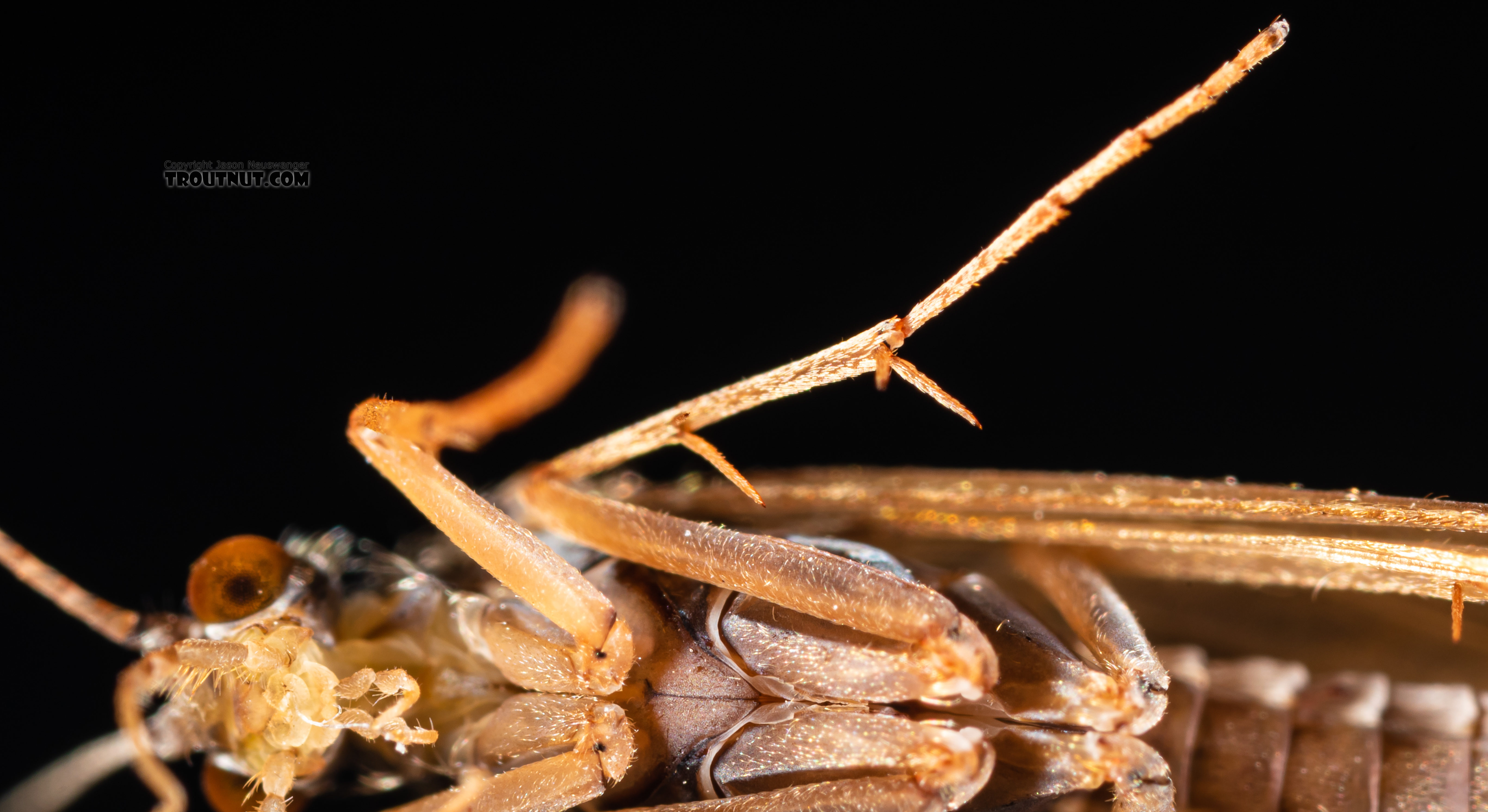 Trichoptera (Caddisflies) Caddisfly Adult from the Ruby River in Montana