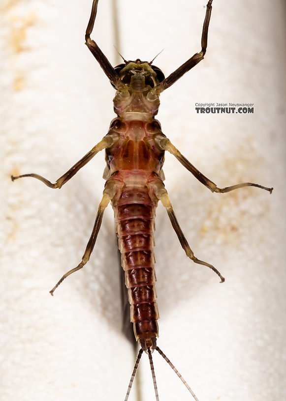 Male Ephemerella tibialis (Little Western Dark Hendrickson) Mayfly Dun from Rock Creek in Montana