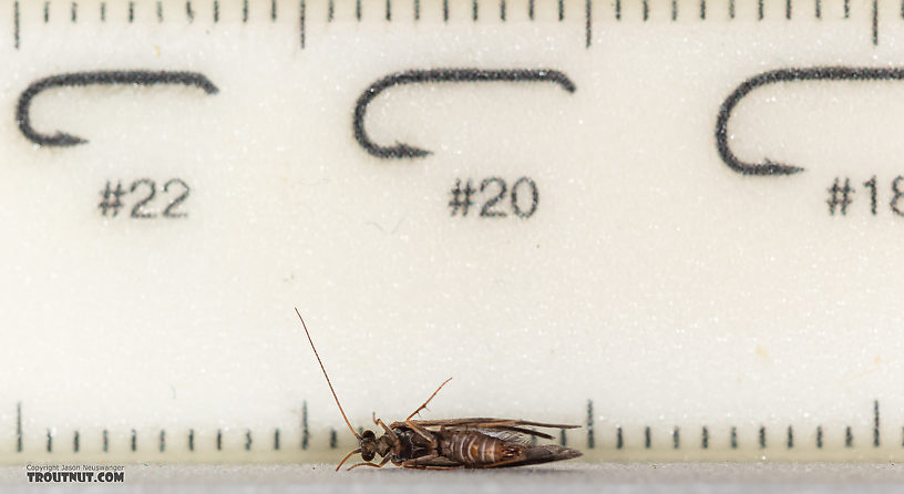 Male Trichoptera (Caddisflies) Caddisfly Adult from Rock Creek in Montana