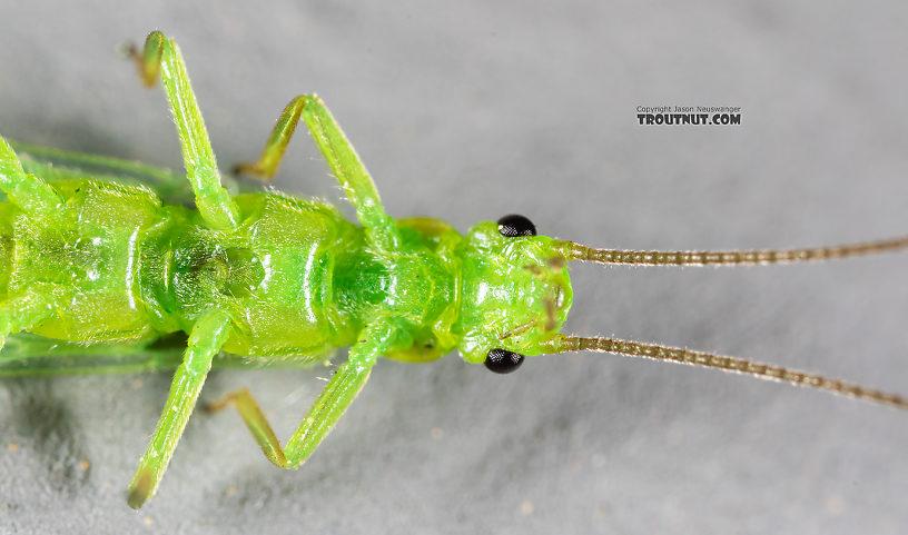 Alloperla (Sallflies) Stonefly Adult from Rock Creek in Montana