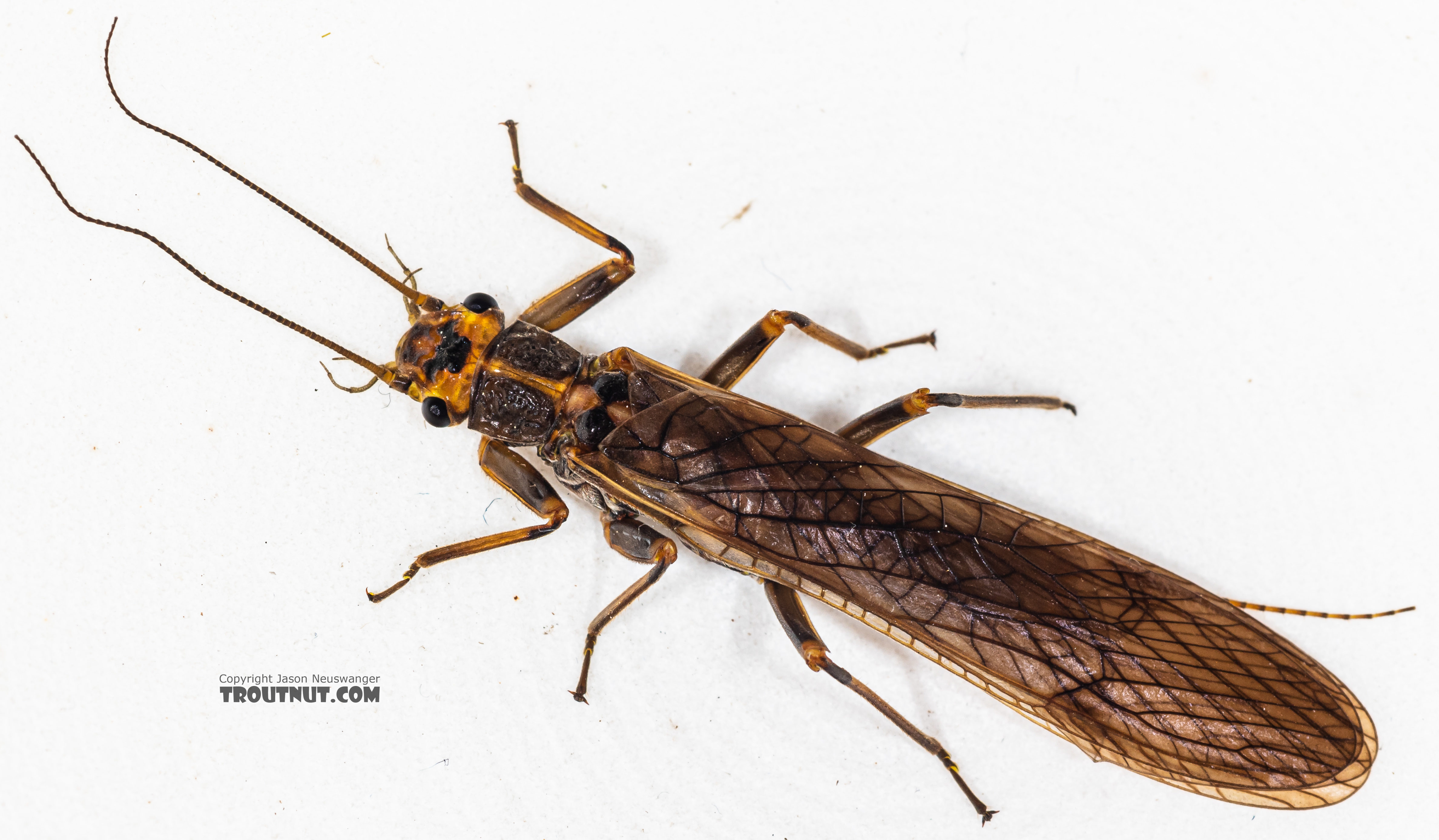 Male Calineuria californica (Golden Stone) Stonefly Adult from the South Fork Snoqualmie River in Washington