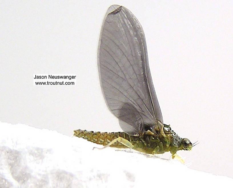 Female Ephemerellidae (Hendricksons, Sulphurs, PMDs, BWOs) Mayfly Dun from unknown in Wisconsin