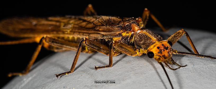 Female Calineuria californica (Golden Stone) Stonefly Adult from Mystery Creek #249 in Washington