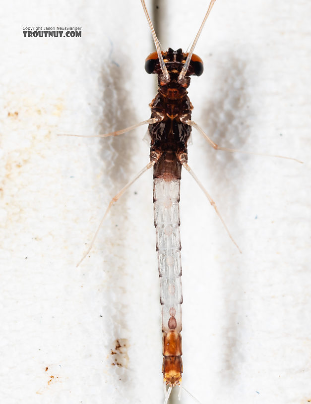 Male Paraleptophlebia sculleni Mayfly Spinner from Mystery Creek #249 in Washington