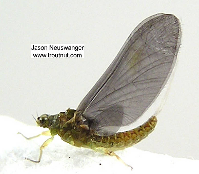 Female Ephemerellidae (Hendricksons, Sulphurs, PMDs, BWOs) Mayfly Dun from unknown in Wisconsin