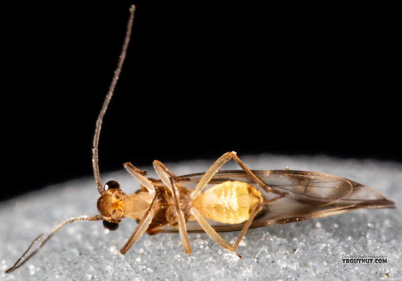 Psocodea Insect Adult from Mystery Creek #249 in Washington
